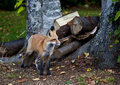 Red North American fox cub Stock Photography
