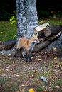 Red North American fox cub Royalty Free Stock Photos