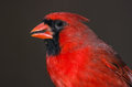 Red Northern Cardinal Close-up Royalty Free Stock Photo