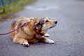 The red not purebred dog lies on the road doggie walk large mongrel Stock Photography