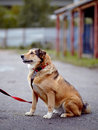 The red not purebred dog sits on the road doggie walk large mongrel Royalty Free Stock Images