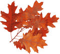 Red oak Autumn. Stock Images