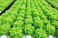 Red oak green oak cultivation hydroponics green vegetable in farm Royalty Free Stock Photo