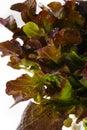 Red oak lettuce on white background Stock Photography