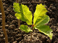 Red oak tree sapling five six weeks from germination the leaves of seedling have the other color and shape than the ones of mature Stock Image