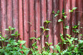 Red old wall with vine background Royalty Free Stock Photo