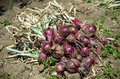 Red onion harvest onions purple onions Stock Photography