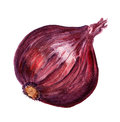 Red onion watercolor image of large isolated on white background Stock Images
