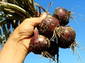Red onions bunch hand holding fresh against blue sky Stock Image