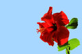 Red open flower chinese hibiscus hibiscus rosa sinensis on blue background Stock Image