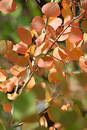 Red Orange Aspen Leaves 1 Royalty Free Stock Photo