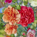 Red and orange carnation flowers closeup Royalty Free Stock Photo
