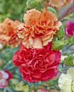 Red and orange carnation flowers closeup natural background Royalty Free Stock Image