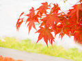 Red orange color changes of Japanese maple Royalty Free Stock Photo