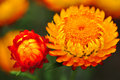 Red orange everlasting flower close up Royalty Free Stock Photos