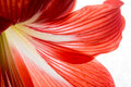 Red orange  flower petals close-up background Royalty Free Stock Photo
