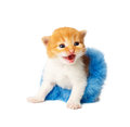 Red orange funny kitten in tutu skirt isolated Royalty Free Stock Photo