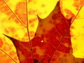 Red and orange leaves Royalty Free Stock Images
