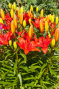Red orange lily flower bunch close up in garden of blooming flowers lilium sp bed Stock Photo