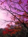 Red orange maple leaves tree branch against purple pink sky in autumn season in Kyoto, Japan. Royalty Free Stock Photo