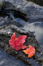 Red and Orange Maple Leaves with Water Royalty Free Stock Photo