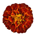 Red orange marigold flower isolated on white background with yellow middle the edges of the petals are bright yellow edging Royalty Free Stock Images