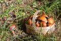 Red and orange mushrooms in the birchbark basket in forest on the land Royalty Free Stock Photo