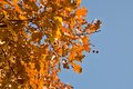 Red and orange oak  leaves with blue sky background Royalty Free Stock Photo