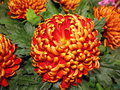 Red and orange pompon chrysanthemums a bunch of Royalty Free Stock Image
