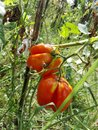 Red and orange tomates Royalty Free Stock Photo
