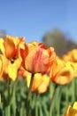 Red-orange tulips in garden Royalty Free Stock Photo