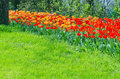 Red and orange tulips intensive cultivation of Stock Photography