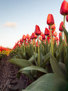 Red orange tulips in a rows row of not yet fully opened long stemmed bulb field taken from low perspective evening light vehicle Royalty Free Stock Photos