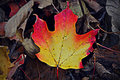 Red, Orange, Yellow Leaf Royalty Free Stock Photo