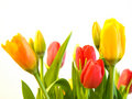 Red, Orange and Yellow Tulips Stock Images