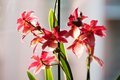 Red orchid closeup image of flowers Royalty Free Stock Photo