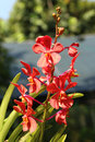 Red orchid in the garden Royalty Free Stock Photography