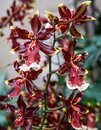 A Red Orchid Royalty Free Stock Photo