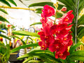 Red orchids in paragon bangkok orchid paradise and gardening equipment will be on sale at special prices and have the opportunity Royalty Free Stock Photo
