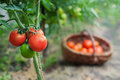 Red organic tomato plant and fruit outdoors Royalty Free Stock Photos
