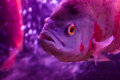 Red oscar fish natural habitat a in blue water and bubbles in background with copy space for you Stock Image