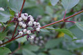 Red osier dogwood cornus sericea stolonifera berries leaves and branches Royalty Free Stock Images