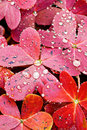 Red Oxalis Leaves