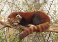 Red panda Royalty Free Stock Photography