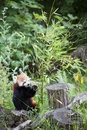 Red Panda. Royalty Free Stock Photos