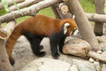 Red panda ailurus fulgens Royalty Free Stock Photo