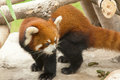Red panda ailurus fulgens Royalty Free Stock Photography