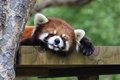 Red panda asleep with tongue out sleeping the tip of his Stock Images