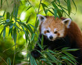 Red panda on bamboo tree Royalty Free Stock Photo