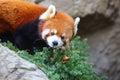 Red panda bear Royalty Free Stock Photo